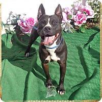 Pit Bull Terrier/Terrier (Unknown Type, Medium) Mix Dog for adoption in Marietta, Georgia - WAYLON
