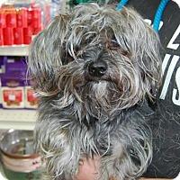 Adopt A Pet :: Scruffy - Brooklyn, NY