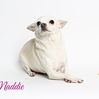 Chihuahua Dog for adoption in Metairie, Louisiana - Maddie