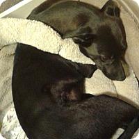 Adopt A Pet :: Lisa - fayetville, NC