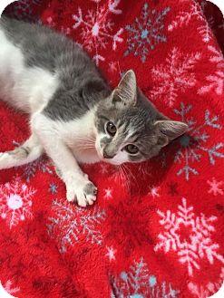 Domestic Shorthair Kitten for adoption in Butner, North Carolina - Derby