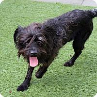 Adopt A Pet :: Brad - Lumberton, NC