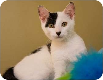 Domestic Shorthair Cat for adoption in Little Falls, New Jersey - Petey (KL)
