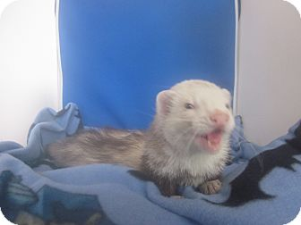 Ferret for adoption in Toledo, Ohio - Kovu