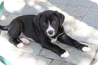 West Palm Beach Boxer Puppies