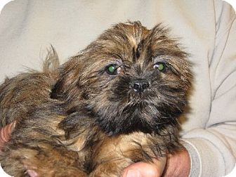 Shih Tzu Puppy for adoption in Greenville, Rhode Island - Ginny Weasley