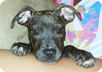 American Pit Bull Terrier Mix Puppy for adoption in Reisterstown, Maryland - Ariya