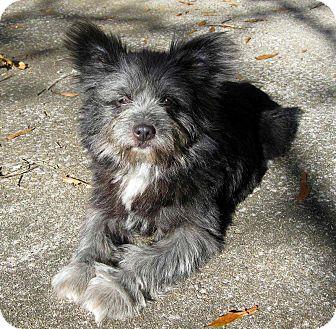 ewok adopted dog salem nh shih tzucairn terrier mix
