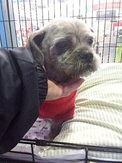Shih Tzu/Brussels Griffon Mix Dog for adoption in Porter Ranch, California - Waldo