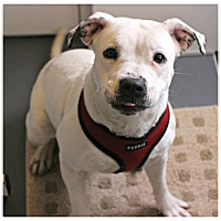 Adopt A Pet :: Izzy - Forked River, NJ