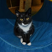 Domestic Shorthair Cat for adoption in Akron, Ohio - Miss Sweet Pea *Special Adoption Fee