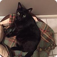 Domestic Shorthair Cat for adoption in Harrisburg, Pennsylvania - Galaxy - LOVE BUG