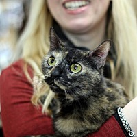 Domestic Shorthair Cat for adoption in New York, New York - Tortie
