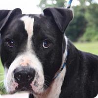 American Bulldog/Labrador Retriever Mix Dog for adoption in Cleveland, Texas - CRUISER