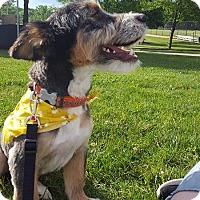 Adopt A Pet :: Snickers - Flemington, NJ