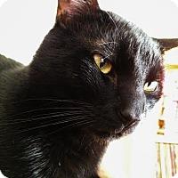 Domestic Shorthair Cat for adoption in Columbus, Ohio - Chester
