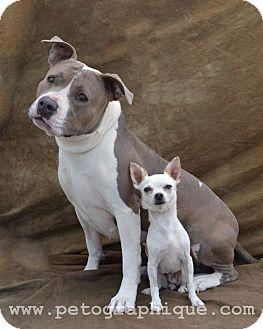 Pit Bull Terrier Mix Dog for adoption in Las Vegas, Nevada - Sasha