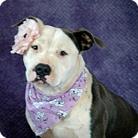 Staffordshire Bull Terrier Dog for adoption in Lawrenceville, Georgia - Bella