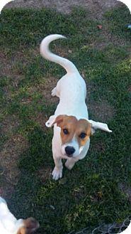Boxer/Labrador Retriever Mix Puppy for adoption in Sunbury, Ohio - Jed Payne