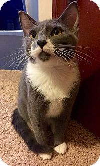 Domestic Shorthair Kitten for adoption in Edmond, Oklahoma - Sammy The Bull