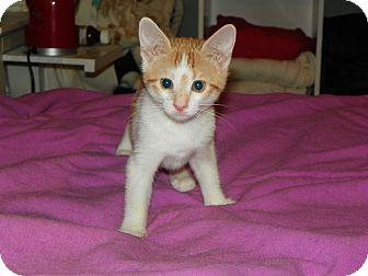 Domestic Shorthair Kitten for adoption in Whitehall, Pennsylvania - Briar