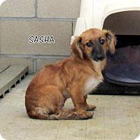 Adopt A Pet :: Sasha (Puppy) - Lindsay, CA