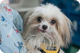 Pekingese Mix Dog for adoption in New York, New York - Wilbur