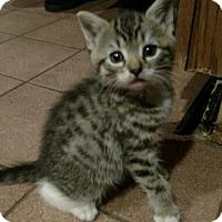 Adopt A Pet :: Socks - Hewitt, NJ