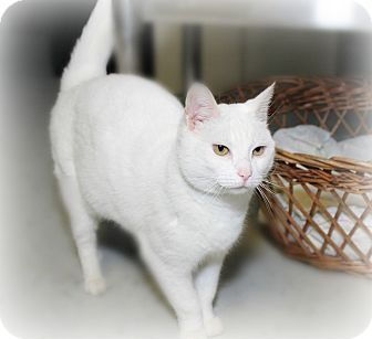 Domestic Mediumhair Cat for adoption in Glen Mills, Pennsylvania - Shannon