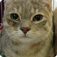 Domestic Shorthair Cat for adoption in Randolph, New Jersey - Peaches & Orange