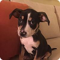 Adopt A Pet :: Eli - Flossmoor, IL