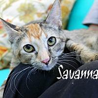 Adopt A Pet :: Savannah - Wichita Falls, TX