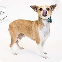 Adopt A Pet :: Tippy - Kansas City, MO