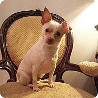 Chihuahua Mix Puppy for adoption in Gaithersburg, Maryland - Mr. Wigglebum