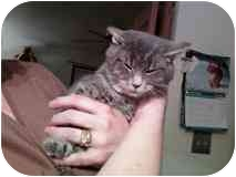 Domestic Shorthair Kitten for adoption in Delmont, Pennsylvania - Teddy