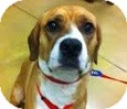Beagle/Hound (Unknown Type) Mix Dog for adoption in Gainesville, Florida - Charlie