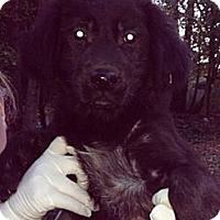 Adopt A Pet :: Amy - New Boston, NH