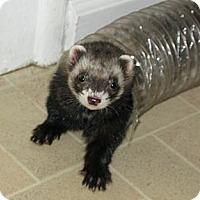 Adopt A Pet :: Joey - South Hadley, MA