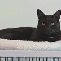 Domestic Shorthair Cat for adoption in Victor, New York - Wonka