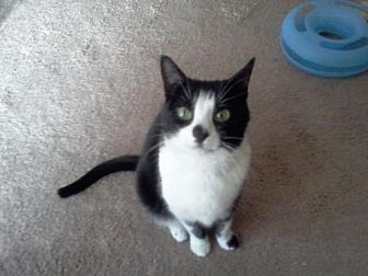 Domestic Shorthair Cat for adoption in Trexlertown, Pennsylvania - PEANUT*