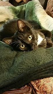 American Shorthair Cat for adoption in Nuevo, California - Muffin