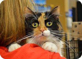 Domestic Mediumhair Cat for adoption in Dallas, Texas - Heidi