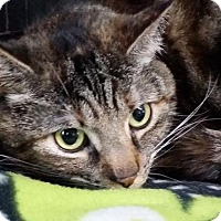 Domestic Shorthair Cat for adoption in Philadelphia, Pennsylvania - Nayla