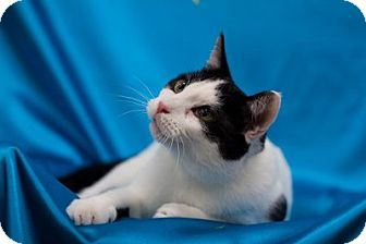 Domestic Shorthair Cat for adoption in Alexandria, Virginia - Greenville