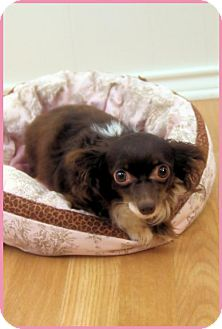 Pomeranian Dog for adoption in Dallas, Texas - Jewel