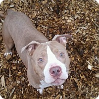 Pit Bull Terrier Dog for adoption in Seattle, Washington - Tazzy