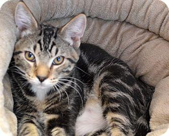 Domestic Shorthair Kitten for adoption in Portland, Oregon - Melon