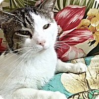 Domestic Shorthair Cat for adoption in Rocky Hill, Connecticut - Panda