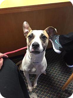Terrier (Unknown Type, Medium)/Pit Bull Terrier Mix Dog for adoption in Wichita, Kansas - Jackie