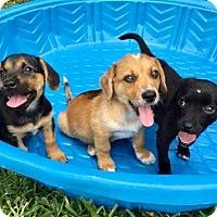 Adopt A Pet :: 8 WEEK OLD DOXIE MIX PUPPIES..2 F, 1 M - Seminole, FL